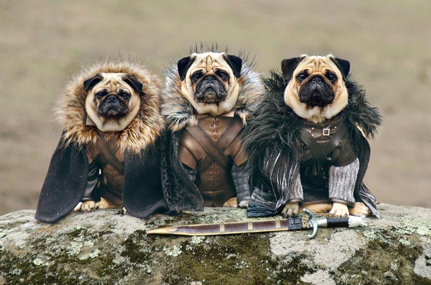 1403765446027_cute-pugs-game-of-thrones-pugs-of-westeros-1