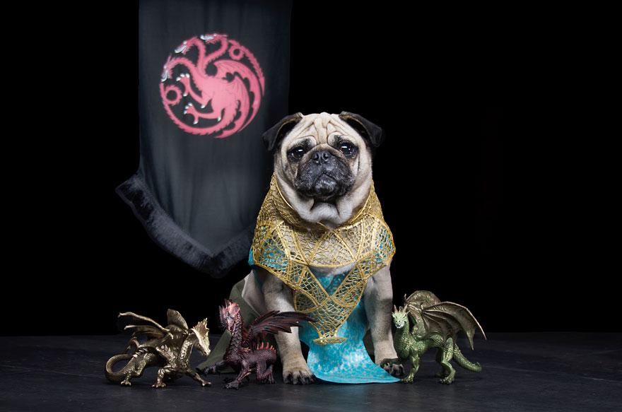 1403765446569_cute-pugs-game-of-thrones-pugs-of-westeros-4