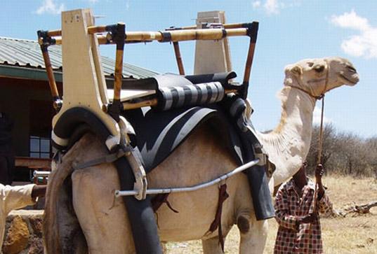 Camel Ambulance Bizarre Culture